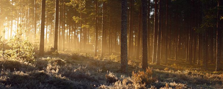 rising sun shining through frosty forest with yellow rays over fozen heather and pine trees